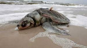 Fukushima Turtle